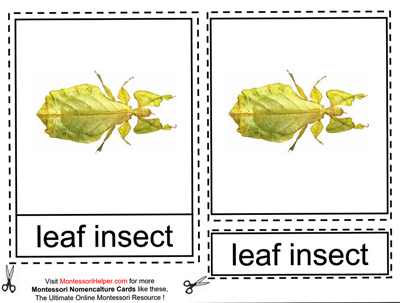 Leaf Insect from Types of Insects Cards at Montessori Helper