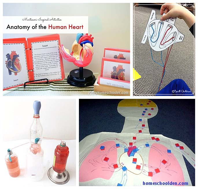 Heart and Circulatory System Activities