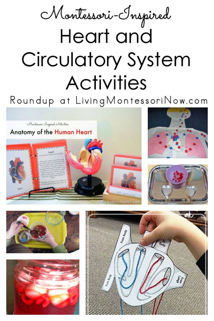 Montessori-Inspired Heart and Circulatory System Activities
