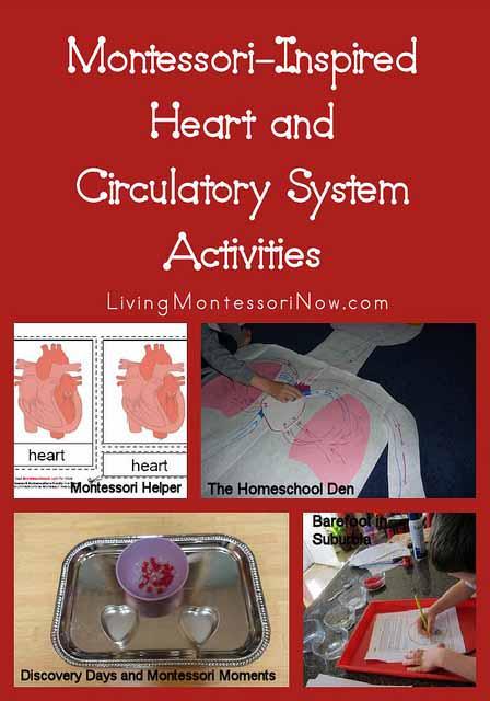 Montessori-Inspired Heart and CirculatorySystem Activities
