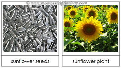 Free Seed and Plant Matching Cards from Montessori Print Shop