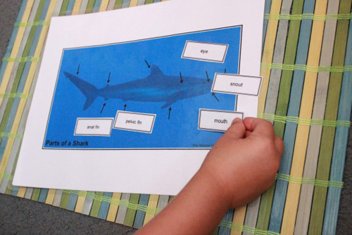Parts of a Shark (Photo from The Natural Homeschool)
