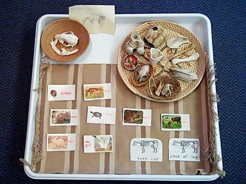 Animal Bones Matched to Cards (Photo from The Montessori Learning Center of Dundee)