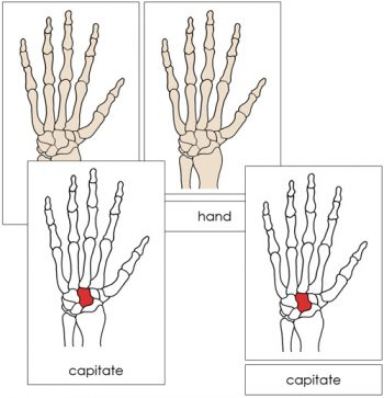 Hand Bones Nomenclature Cards from Montessori Print Shop