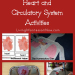 Montessori-Monday – Montessori-Inspired Heart and Circulatory System Activities