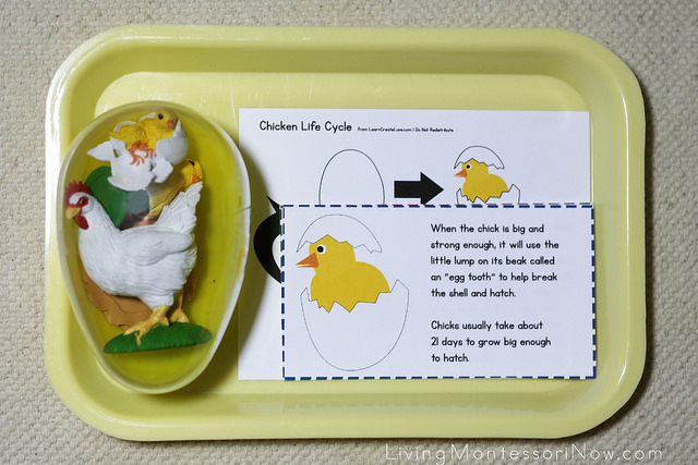 Life Cycle of a Chicken Layout