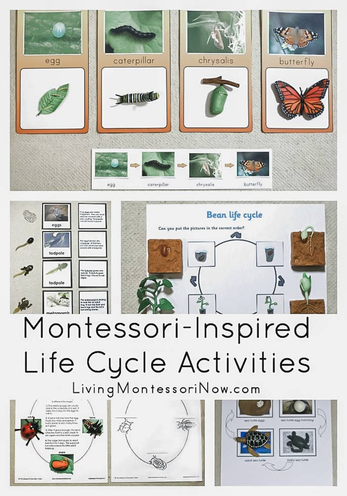 Montessori-Inspired Life Cycle Activities
