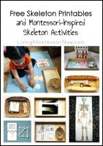 Free Skeleton Printables and Montessori-Inspired Skeleton Activities