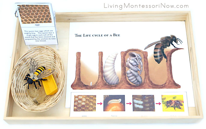 Tray with Life Cycle of a Bee Materials