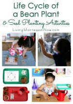 Life Cycle of a Bean Plant and Seed Planting Activities {Montessori Monday}