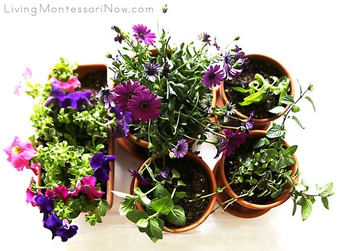 Transplanted Herbs and Flowers in a Sensory Bin