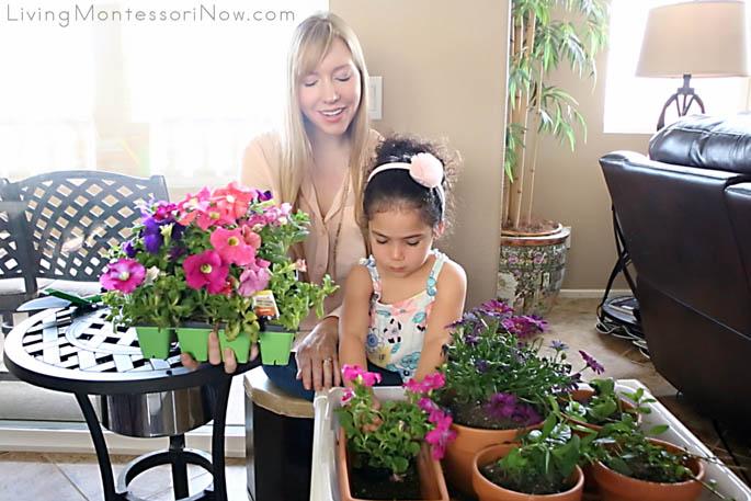 Transplanting Petunias