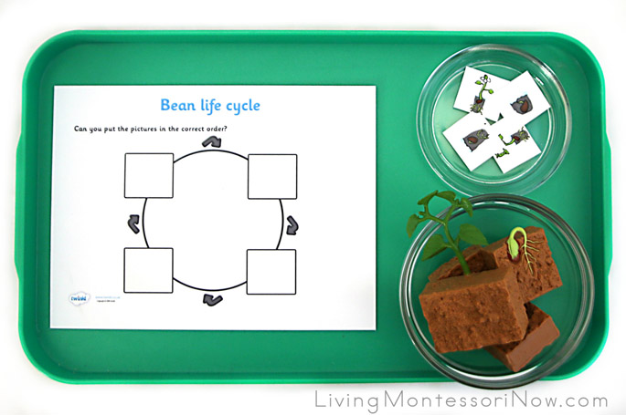 Tray for Introducing the Life Cycle of a Bean Plant