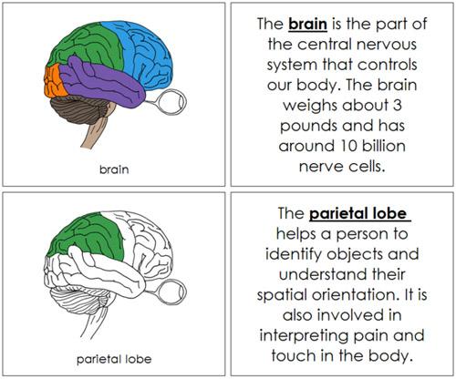 Brain Nomenclature Book from Montessori Print Shop