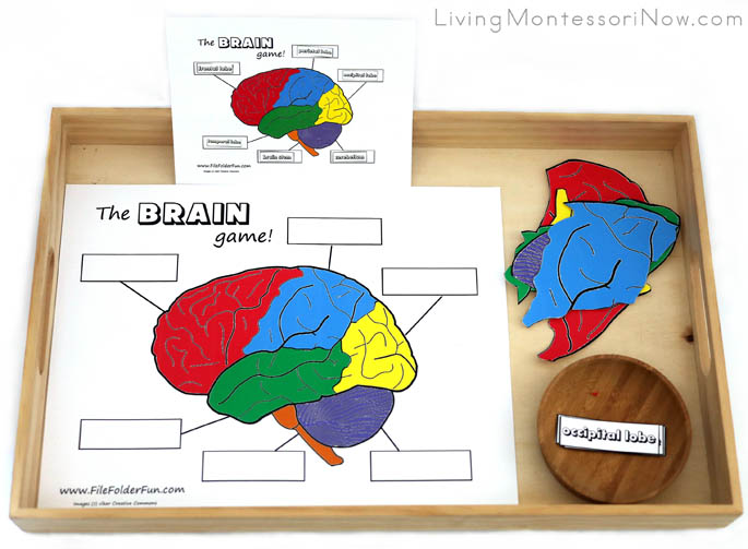 Tray with Parts of the Brain Puzzle and Labeling