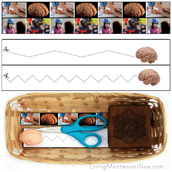 Brain Cutting Strips with Basket and Brain from the Safari Ltd. Human Organs TOOB