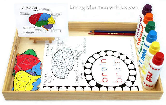 Tray with Brain Do-a-Dot Work and Parts of the Brain Work Plus Phonics Activities