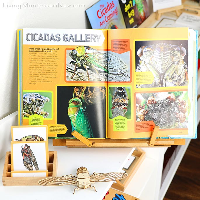 Wooden Cicada Puzzle with Cicada Life Cycle Cards and Gallery from The Ultimate Bugopedia Book
